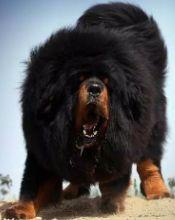 已认证巨型犬展区
