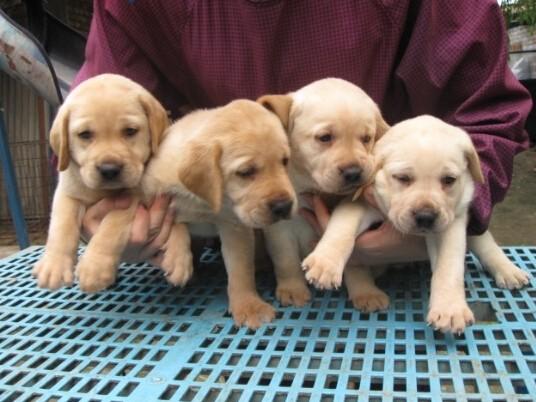 北京朝阳区出售纯种拉布拉多犬