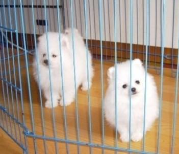 昆明哪里能买到纯种的博美小狗价格图片 博美小狗图片价格
