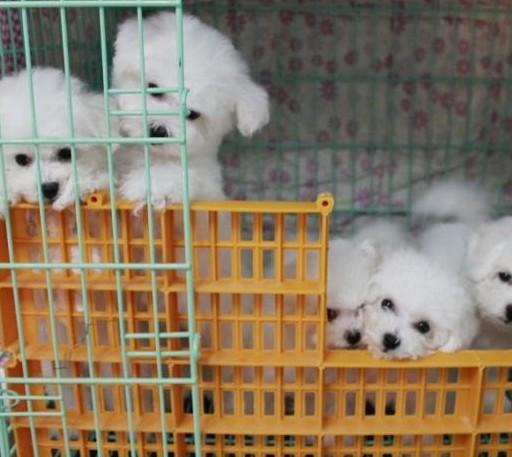 保山卖比熊保山买比熊保山狗场常年出售纯种比熊