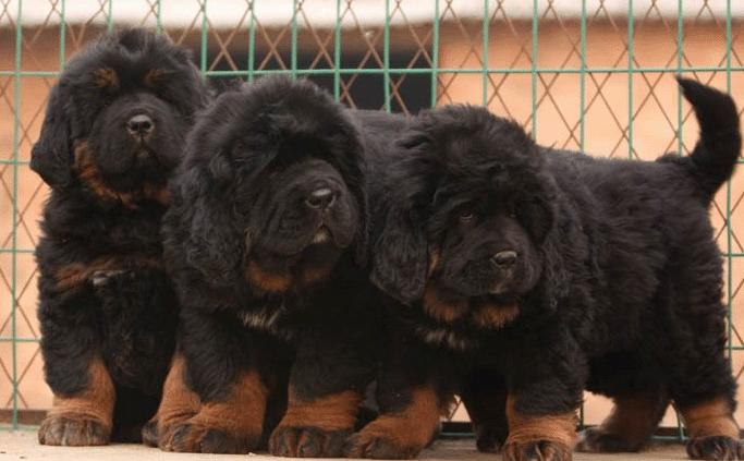 上海卖藏獒上海买藏獒上海狗场常年出售纯种藏獒