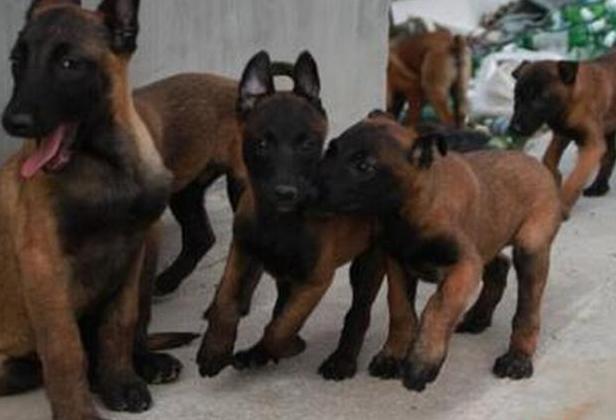 重庆卖马犬重庆买马犬重庆狗场常年出售纯种马犬