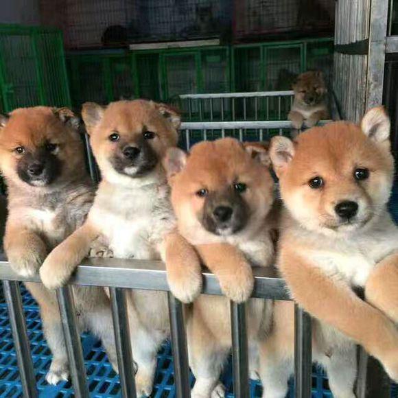 重庆卖柴犬重庆买柴犬重庆狗场常年出售纯种柴犬