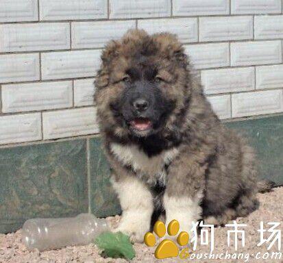 买高加索 云南狗场高加索幼犬出售 欢迎实地选购