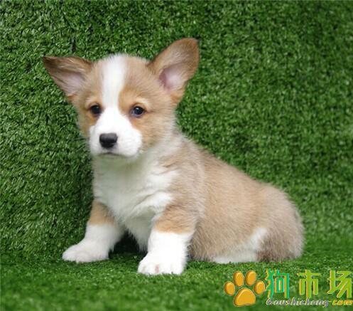 贵州哪里买卖柯基犬小狗贵州出售纯种柯基幼犬
