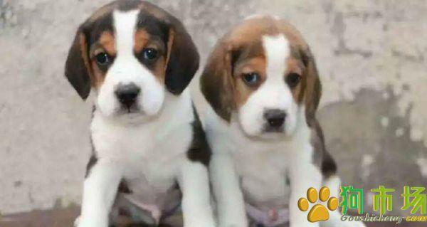 攀枝花买比格犬 狗场专业繁殖出售比格幼犬欢迎选购