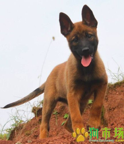攀枝花宠物网买狗市场名犬基地买马犬的地方