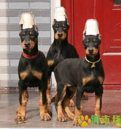攀枝花买杜宾犬请进 狗场出售精品杜宾欢迎选购