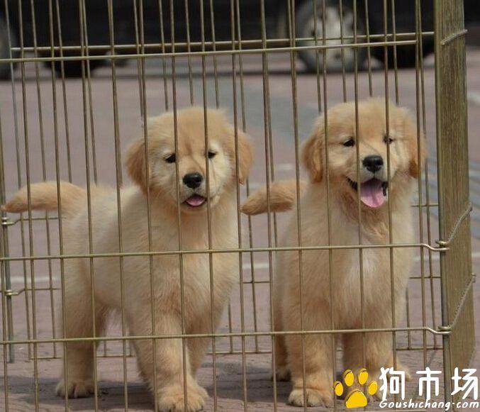 昆明纯种金毛犬小狗哪里买卖 昆明本地出售金毛幼犬