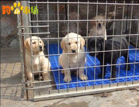 楚雄哪里买卖拉布拉多小狗楚雄常年出售拉布拉多幼犬