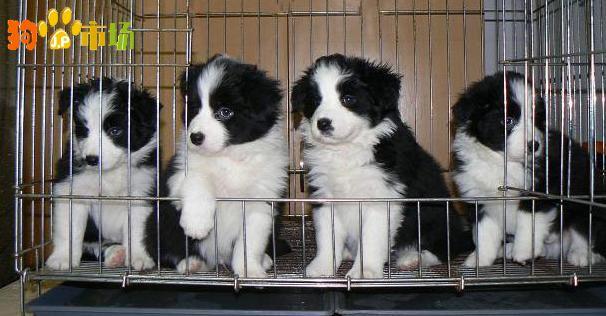 昆明常年出售边牧幼犬昆明哪里买卖纯种边牧小狗