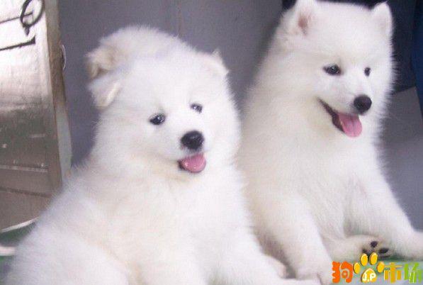 新疆哪里有养殖萨摩耶的犬舍乌鲁木齐萨摩耶小狗价格