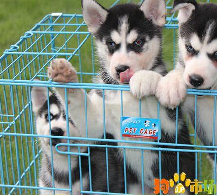 云南昆明宠物之家常年出售哈士奇幼犬纯种健康保证
