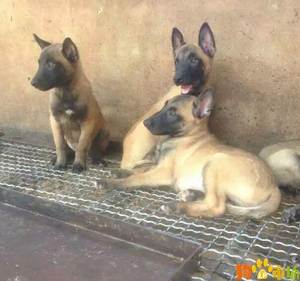 云南昆明宠物之家常年出售马犬小狗纯种健康保证