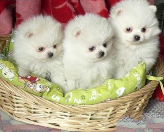 湖南本地狗场出售博美小狗长沙哪里买卖博美幼犬