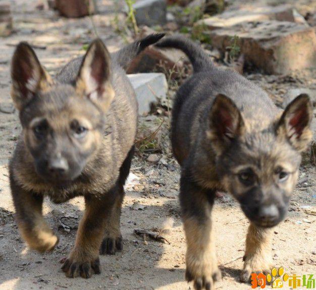 长沙买纯种昆明犬小狗哪里有卖长沙出售昆明犬幼犬