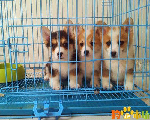 文山地区常年出售柯基幼犬文山买柯基小狗哪里有卖
