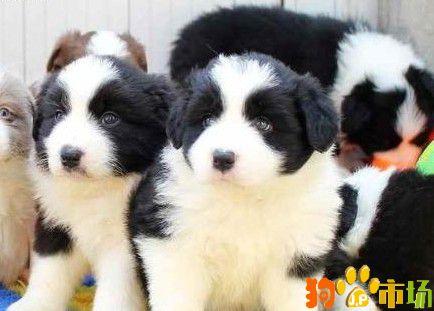 楚雄市福安康犬业出售边牧幼犬边牧小狗纯种保障