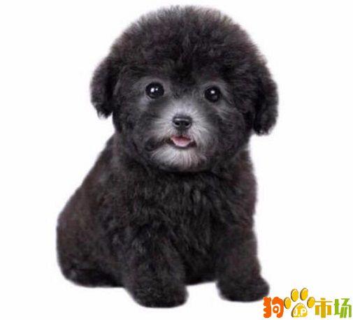 曲靖宠物之家常年出售灰色贵宾幼犬小狗可上门挑选