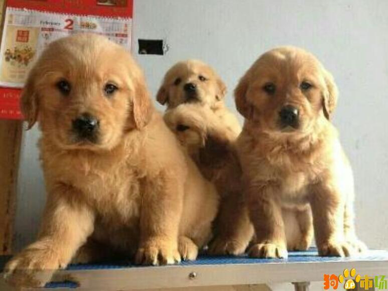 曲靖市宠物之家常年出售纯种金毛幼犬小狗品质保障
