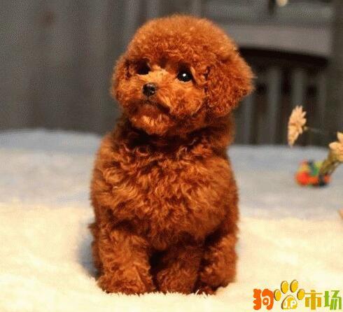 贵阳泰迪熊幼犬多少钱一只 贵州出售泰迪犬小狗包品质