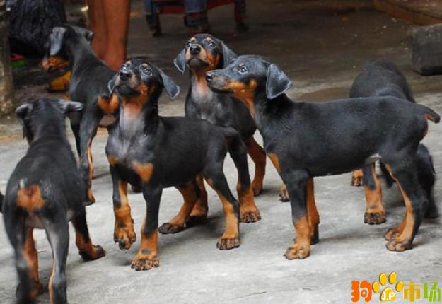 临沧买杜宾临沧卖杜宾云南临沧出售纯种杜宾幼犬