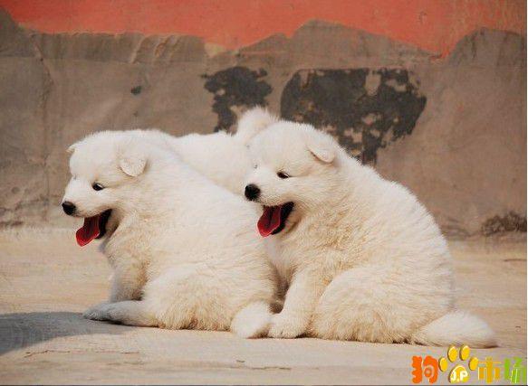 云南保山萨摩耶幼犬养殖场常年出售纯种萨摩耶小狗