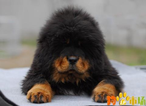 德宏州芒市常年出售藏獒幼犬芒市卖纯种藏獒小狗