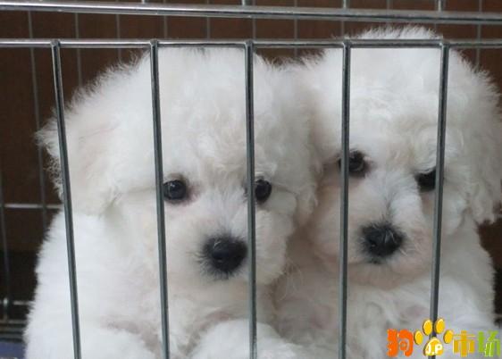 云南保山常年出售比熊幼犬保山地区卖纯种比熊小狗