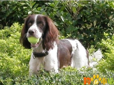 保山地区卖纯种史宾格小狗云南保山出售史宾格幼犬