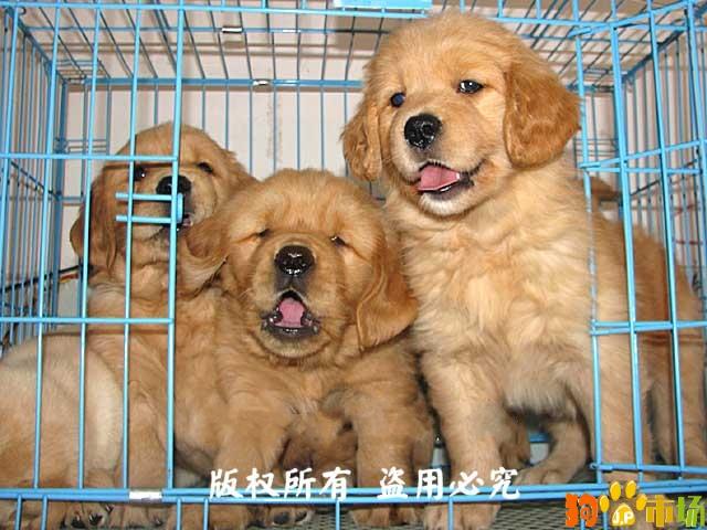 保山地区卖纯种金毛小狗云南保山常年出售金毛幼犬