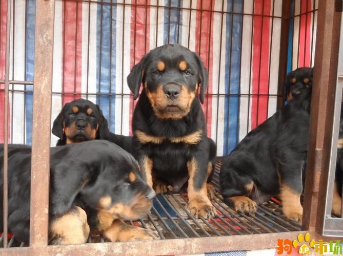云南保山出售罗威纳幼犬保山地区卖纯种罗威纳小狗