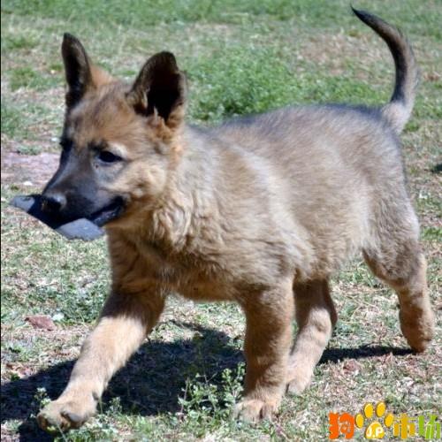 保山地区卖纯种昆明犬小狗云南保山出售昆明犬幼犬