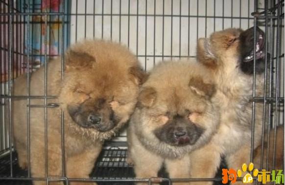 保山地区卖纯种松狮小狗云南保山常年出售松狮幼犬