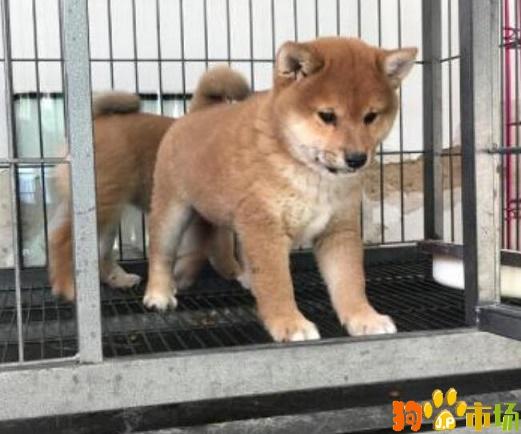 云南保山常年出售柴犬幼犬保山地区卖纯种柴犬小狗