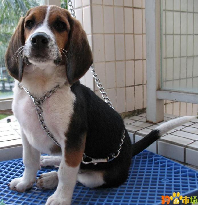 保山地区卖纯种比格小狗云南保山常年出售比格幼犬
