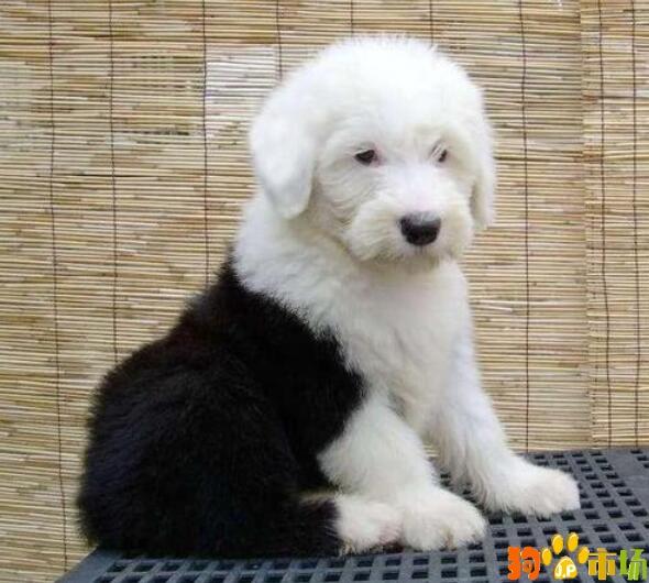 保山地区卖纯种古牧小狗云南保山常年出售古牧幼犬