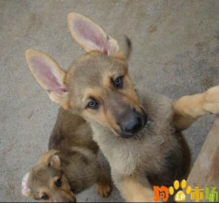 文山买昆明犬小狗哪里有卖纯种昆明犬幼犬出售快来