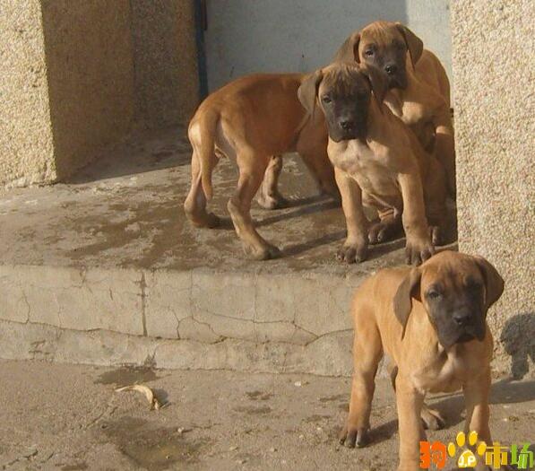 文山买大丹小狗哪里有卖纯种大丹幼犬出售品质保证