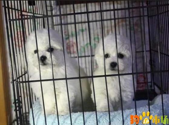 云南普洱地区买比熊小狗哪里有卖纯种比熊幼犬出售