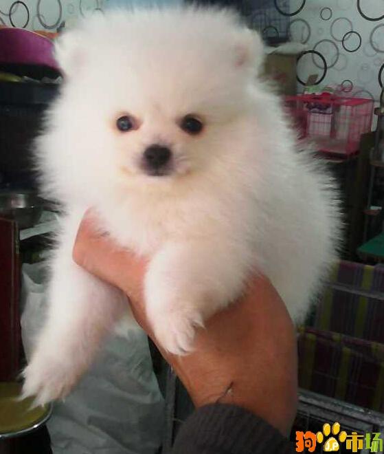云南普洱市买茶杯犬小狗哪里有卖纯种茶杯幼犬出售