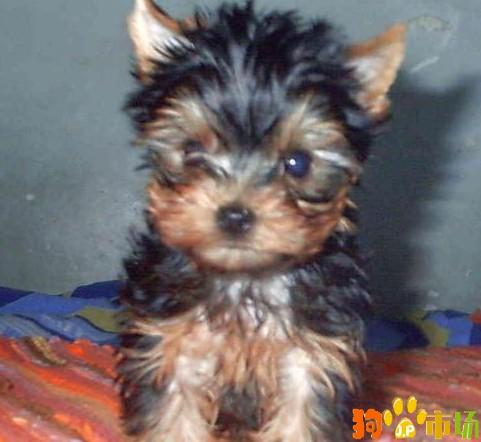 云南普洱买约克夏小狗哪里有卖纯种约克夏幼犬出售