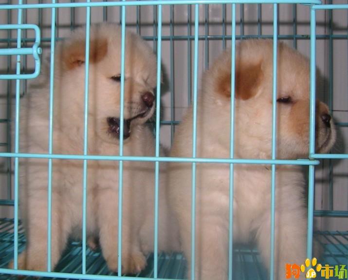 云南普洱地区买松狮小狗哪里有卖纯种松狮幼犬出售