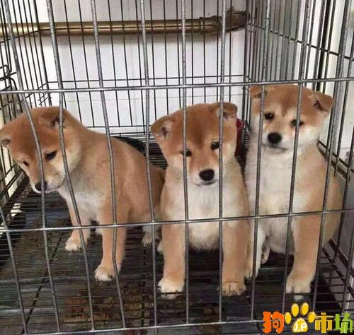 云南普洱市买柴犬小狗哪里有卖纯种柴犬幼犬出售