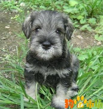 云南普洱买雪纳瑞小狗哪里有卖纯种雪纳瑞幼犬出售