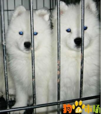 纯种萨摩耶幼犬出售云南普洱买萨摩耶小狗哪里有卖