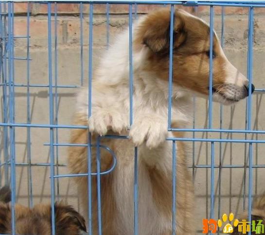 纯种苏牧小狗出售云南普洱买苏格兰牧羊犬哪里有卖
