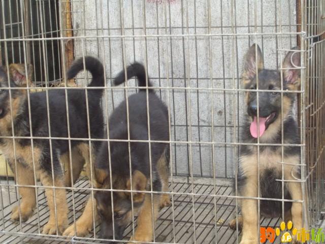 云南普洱买德国牧羊犬哪里有卖纯种德牧小狗出售