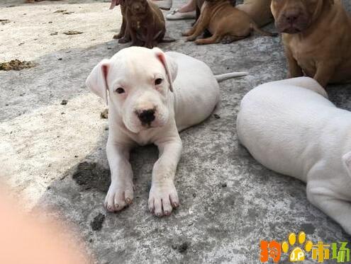 云南普洱买杜高小狗哪里有卖纯种杜高幼犬出售