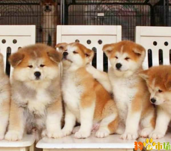 云南普洱买秋田犬小狗哪里有卖纯种秋田幼犬出售
